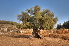 A beautiful old Olive tree located at the edge of an olive grove in the Nei'el Valley - north of Khirbet Beza (old Roman city), Israel.