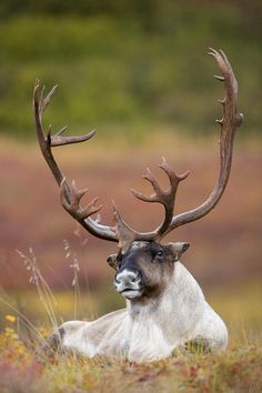 Bull caribou bedded on Autumn tundra in Denali National Park, Interior Alaska -------- read about beautiful custom design inspired by a prehistoric elk >  http://balticacustomhardware.com/blog/2016/01/05/nose-to-nose-with-an-elk/