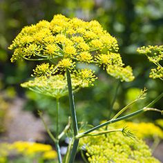 Fennel: Airy umbrellas of yellow florets in summer attract bees
