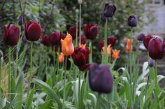 Tulipa Ballerina Couleur Cardinal Queen of the Night Arthur Road Landscapes