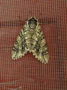 Mothra Lives | LaGrange, Georgia, 23 June 2014 | © R. S. Williams (all rights reserved)