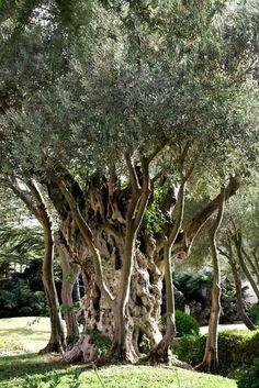 Arbol milenario de olivo