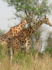 Uganda-Kampala area and the Ugandan Wildlife