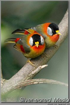 Silver-eared Mesia (Leiothrix argentauris) - a species of bird from South East Asia. (Related to the Pekin Robin)