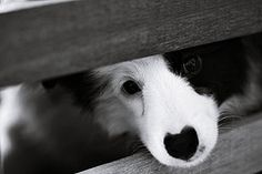 Border Collie - <3 the heart shaped nose