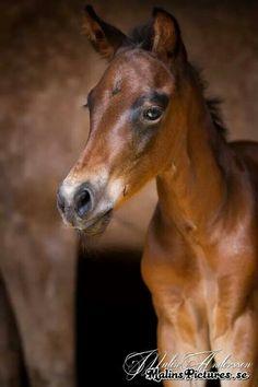 AQHA Foal! Dam: Jez a Little Lena. Sire: Ebony Eddie