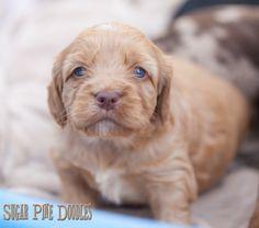 Australian Labradoodle, Sugar Pine Doodles, Puppies, Labradoodle, Puppy