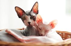 Sphynx  adorable and sweet