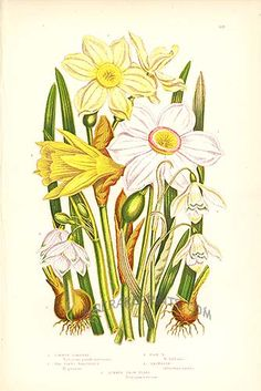 Antique print: picture of Common Daffodil, The Poet's Narcissus, Pale Narcissu and Snowdrop -