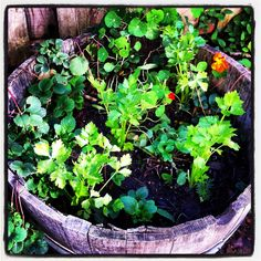 Fall garden barrel - celery, strawberries, nasturtiums, lemon balm, garlic.
