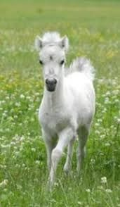 Pony foal greets the world from her spring pasture. Miniature horse filly (via Modello Horse Farm) All The Pretty Horses, Beautiful Horses, Animals Beautiful, Horse Pictures, Animal Pictures, Miniature Ponies, Baby Animals, Cute Animals, Baby Horses