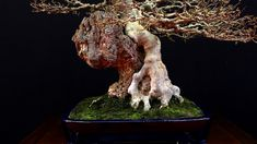 A #bonsaitree clinging to a rock, this is a Maple in the Luis Vallejo collection.