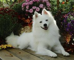 The Standard American Eskimo Dog is an intelligent, energetic, playful, and affectionate companion dog. They are excellent watchdogs, and take their watchdog duties very seriously. They are naturally protective of their homes and families. They are wary of strangers and will bark to announce their arrival Height: over 15-19 in. Weight: 18-35 lbs