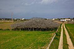 La Higuera mas grande - Formentera - Mediterranea Pitiusa