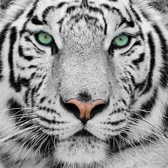 White Tiger Fact: Did you know that white tigers respond strangely to anesthesia? Find out why and 15 other white tiger facts you never knew! Animals And Pets, Baby Animals, Funny Animals, Cute Animals, Wild Animals, Fierce Animals, Nature Animals, Beautiful Cats, Animals Beautiful