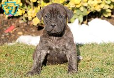 """The breed is commonly referred to as the """"Mastiff"""". Also known as the English Mastiff this giant dog breed gets known for its splendid, good nature. Mastiff Puppies For Sale, English Mastiff Puppies, Cute Dogs And Puppies, Mastiff Breeds, Mastiff Dogs, Giant Dog Breeds, Giant Dogs, Fierce Animals, Cute Animals"""