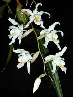 Andy's Orchids - Orchid Species - Coelogyne - cristata