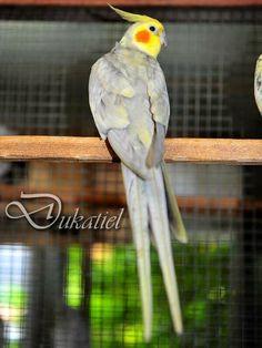 Emerald Cockatiel Cockatiel, Budgies, Parrots, Parrot Bird, Parakeet, Love Birds, Cute Baby Animals, Animals Beautiful, Pet Birds