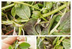 Κάπαρη και Καπαρόφυλλα Τουρσί! Spinach, Vegetables, Vegetable Recipes, Veggies
