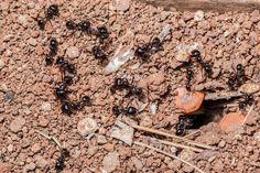 From chaos to order: How ants optimize food search. Ants are capable of complex problem-solving strategies that could be widely applied as optimization techniques. An individual ant searching for food walks in random ways.