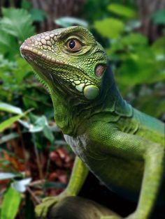 Green-Iguana-Dong808.jpg (1200×1600)