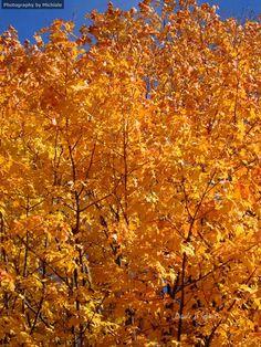 Sunkissed   #photography #card #print #canvas #nature #autumn #Fall #foliage #tree #leaves