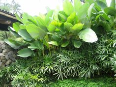 Stone wall next to Calathea lutea and Rhapis sp. - Ponce Veridiano Garden.