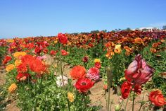 Carlsbad Field of Flowers- Carlsbad California