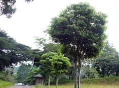 By Henrylito D. Tacio       Manila,  21 October 2009 . Pili (known in the scientific world as Cana...