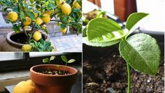 The health benefits of lemon include treatment of throat infections, indigestion, constipation, fever, rheumatism, burns, obesity, respiratory disorders, cholera and high blood pressure, while it also benefits hair and skin care. Lemon is a fruit that contains flavonoids, which are composites that contain antioxidant and cancer fighting properties.   How To Grow A Lemon Tree From Seed? The citrus family consists of plants with glossy green, fragrant leaves that under good conditions will…