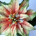 la mia Stella di Natale in pasta di zucchero my Poinsettia in flower paste