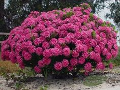 Rice flower (thymelaeaceae - pimelea ferruginea) A small rounded shrub that… Australian Native Garden, Australian Plants, Bush Garden, Garden Path, Garden Ideas, Beautiful Gardens, Beautiful Flowers, Hello Hello Plants, Blue And Purple Flowers