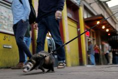 A ferret walks his man along 6th Street during the South by Southwest Music Film Interactive Festival, Austin, Texas, United States, 2017, photograph by Brian Snyder.