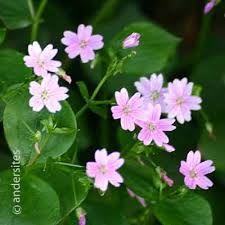 winterpostelein roze (Is die nog aan het pleintje bij mijn oude huis? Oorspronkelijk uit de wilde tuin van Beppe)