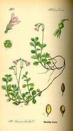 Linneae borealis - vintage botanical print Linnea - botanisk illustration