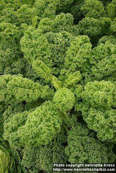 Photo: Brassica oleracea sabe 12. | Henriette's Herbal Homepage