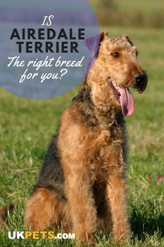 Terriers The Airedale Terrier is a friendly, energetic, independent, confident, and intelligent pooc Airedale Terrier, Terrier Dog Breeds, Irish Terrier, Terrier Dogs, Pitbull Terrier, Terriers, Top Dog Breeds, Large Dog Breeds, I Like Dogs