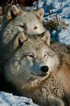 Liggende wolven.