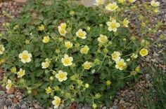 potentilla glandulosa - Google Search