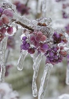Winter wonderland | Frozen Berries and Icicles                                                                                                                                                     More