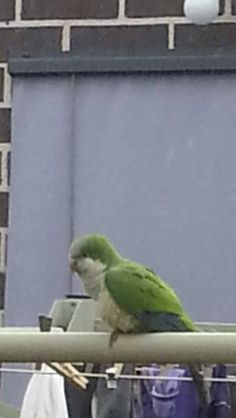 SIGHTING QUAKER: 14/09/2016 - Kurunjang, Victoria, VIC, Australia. Ref#: V26375 - #ParrotAlert #ParrotSighting #BirdSighting #QuakerSighting