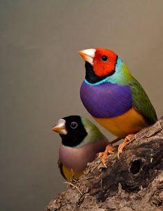 Gouldian Finch Pair by GrrlScientist
