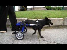 Walking Wheels For Handicapped Dogs | Video