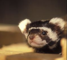 Oh my.. So cute.. Marbled polecat..