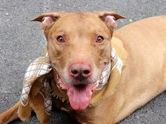 SUPER URGENT 05/20/14 Manhattan Center   LALO - A1000473 *** HISTORY OF SEIZURES ***  NEUTERED MALE, BROWN / WHITE, AM PIT BULL TER MIX, 9 yrs OWNER SUR - ONHOLDHERE, HOLD FOR ID Reason PERS PROB  Intake condition GERIATRIC Intake Date 05/20/2014, NY 11230, DueOut Date 05/20/2014, https://www.facebook.com/photo.php?fbid=807840279228853&set=a.617942388218644.1073741870.152876678058553&type=3&theater