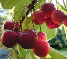 Benefícios das cerejas