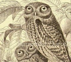 Glaucus Owl Athena Goddess Of Wisdom Antique Engraved Illustration 1905 Edwardian Era Natural History