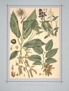 Flore forestière : illustrée arbres et arbustes du centre de l'Europe. by C de Kirkwan, 1872     Hazelnut