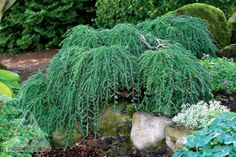 european larch prostrate form - Google Search