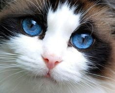 "Seal Point Bicolor Ragdoll cat with stunning eye color and very good symmetry of ""V"" markings"